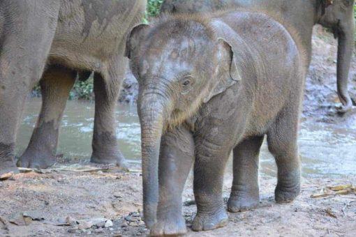 Baby elephant in Thailand