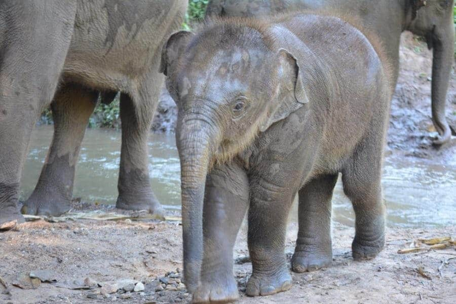 Baby elephant in Thailand
