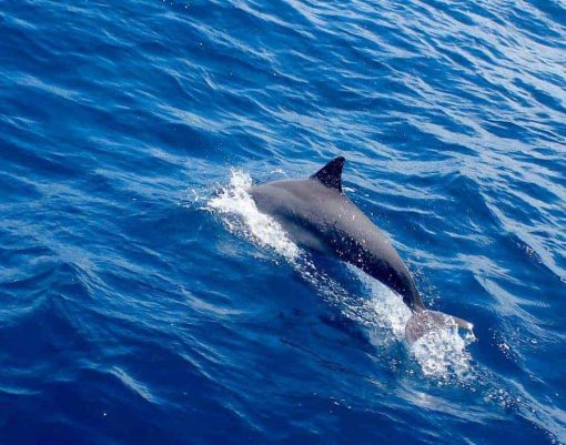 Dolphins in the sea Maldives.