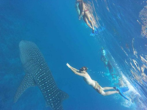 Swimming with Whale Sharks in Maldives