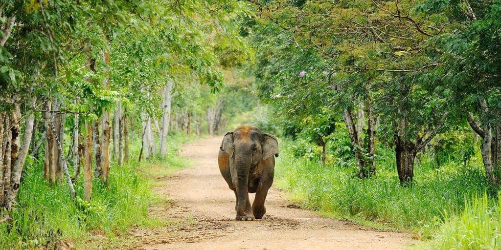 A wild elephant in Kui Buri National Park, Thailand.