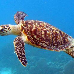 Hawksbill Turtle, Malaysia