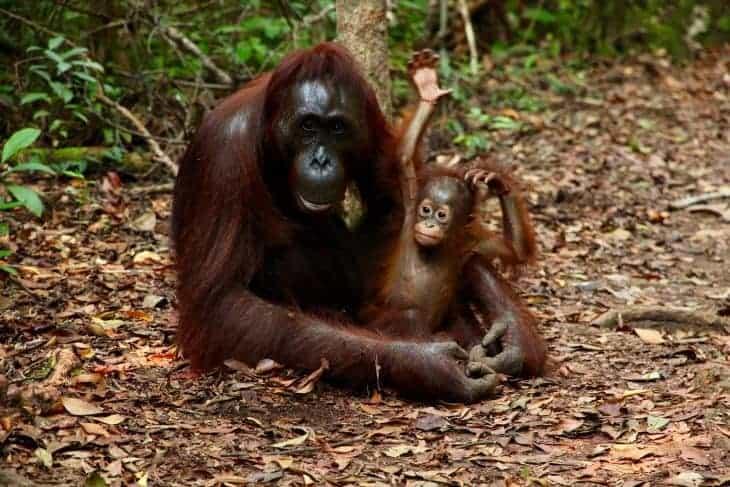 Orangutan in Sarawak Borneo