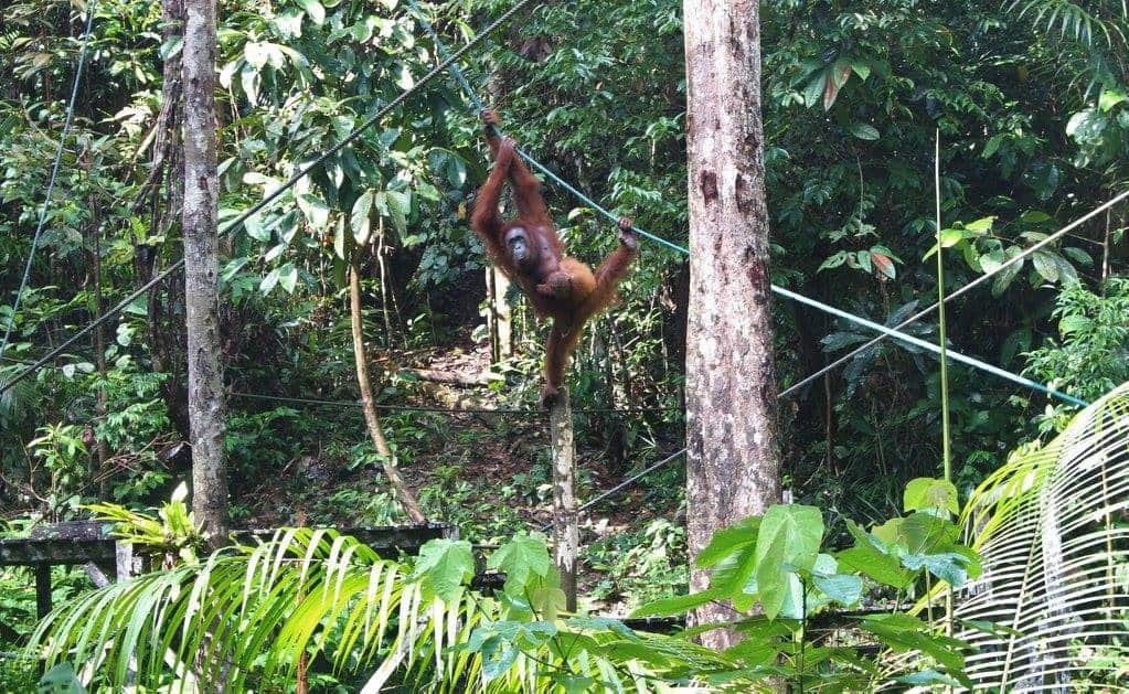 Orangutans in the wild in Borneo