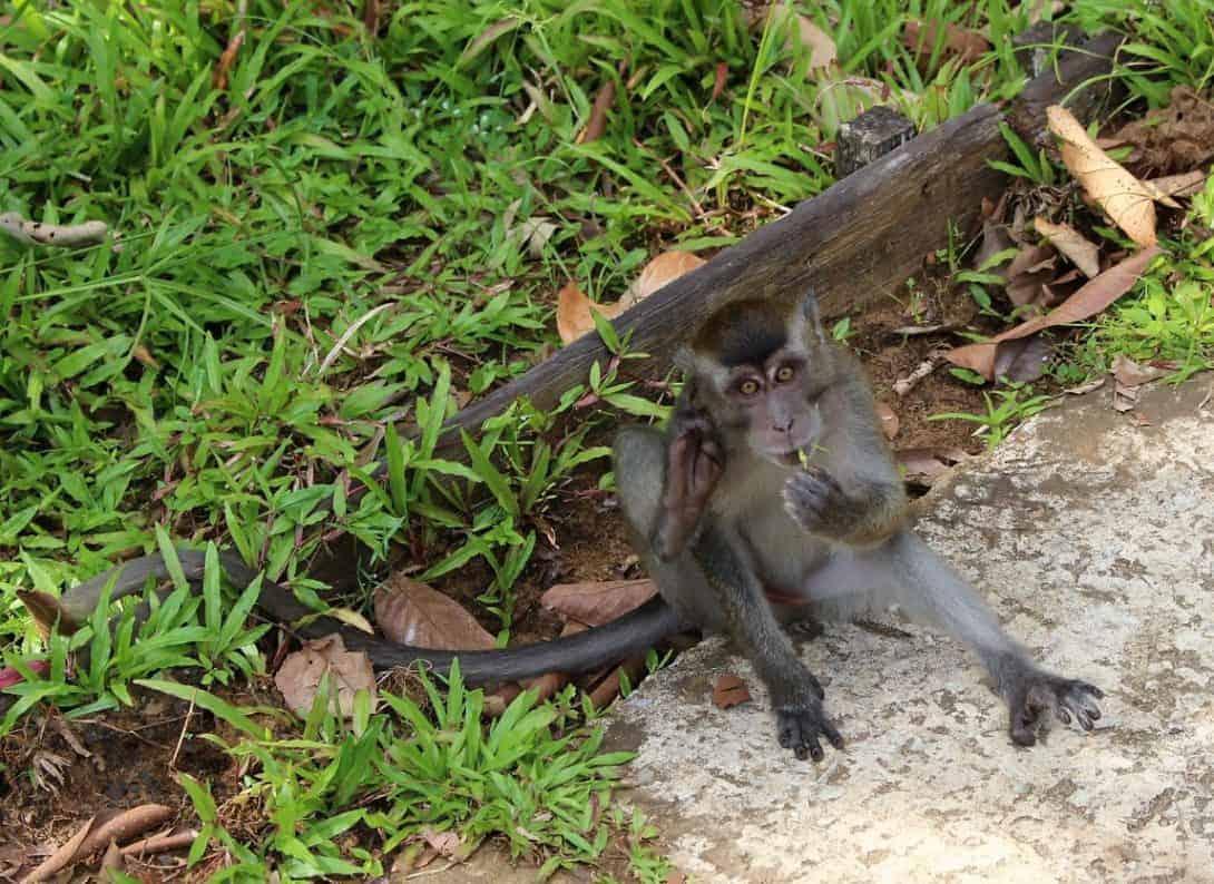 A cheeky monkey at Bako National Park, Sarawak, Borneo