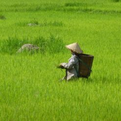 Rice fields outside Hoi An, Vietnam.