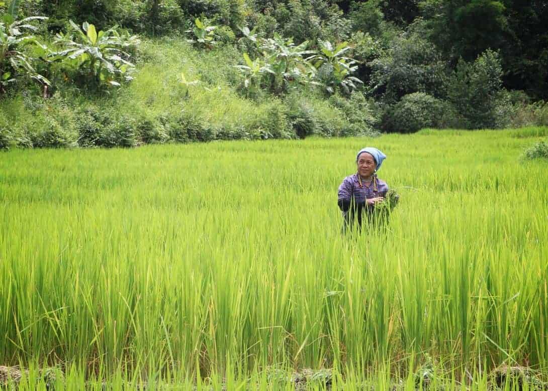 local woman farmer in the ricefield - Mae Wang, Thailand