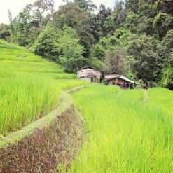 Lush green rice field in Mae Wang, Thailand