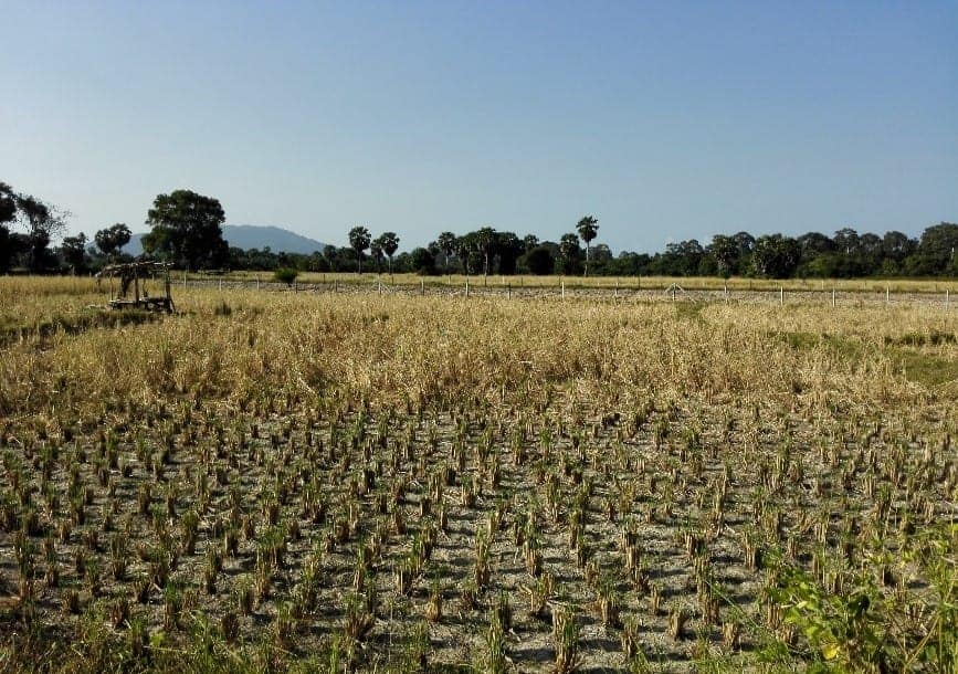 Khanom, Thailand surrounding rice fields.