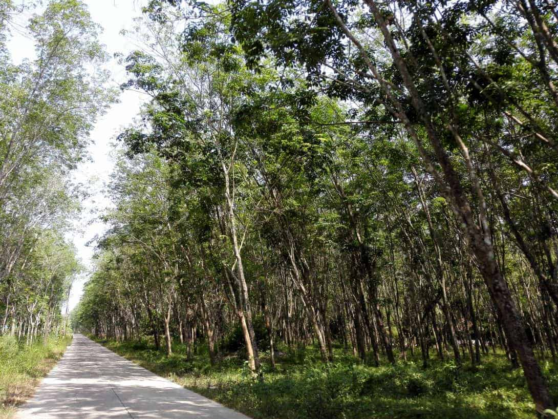 A rubber tree plantation in Khanom, Thailand