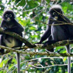 Dusky leaf monkeys_CocoHostel_Khao Sok Thailand