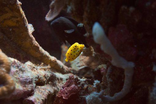 A yellow puffer fish Nusa Lembongan Indonesia