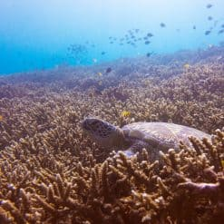 Sea turtle on a coral bed Nusa Lembongan Indonesia