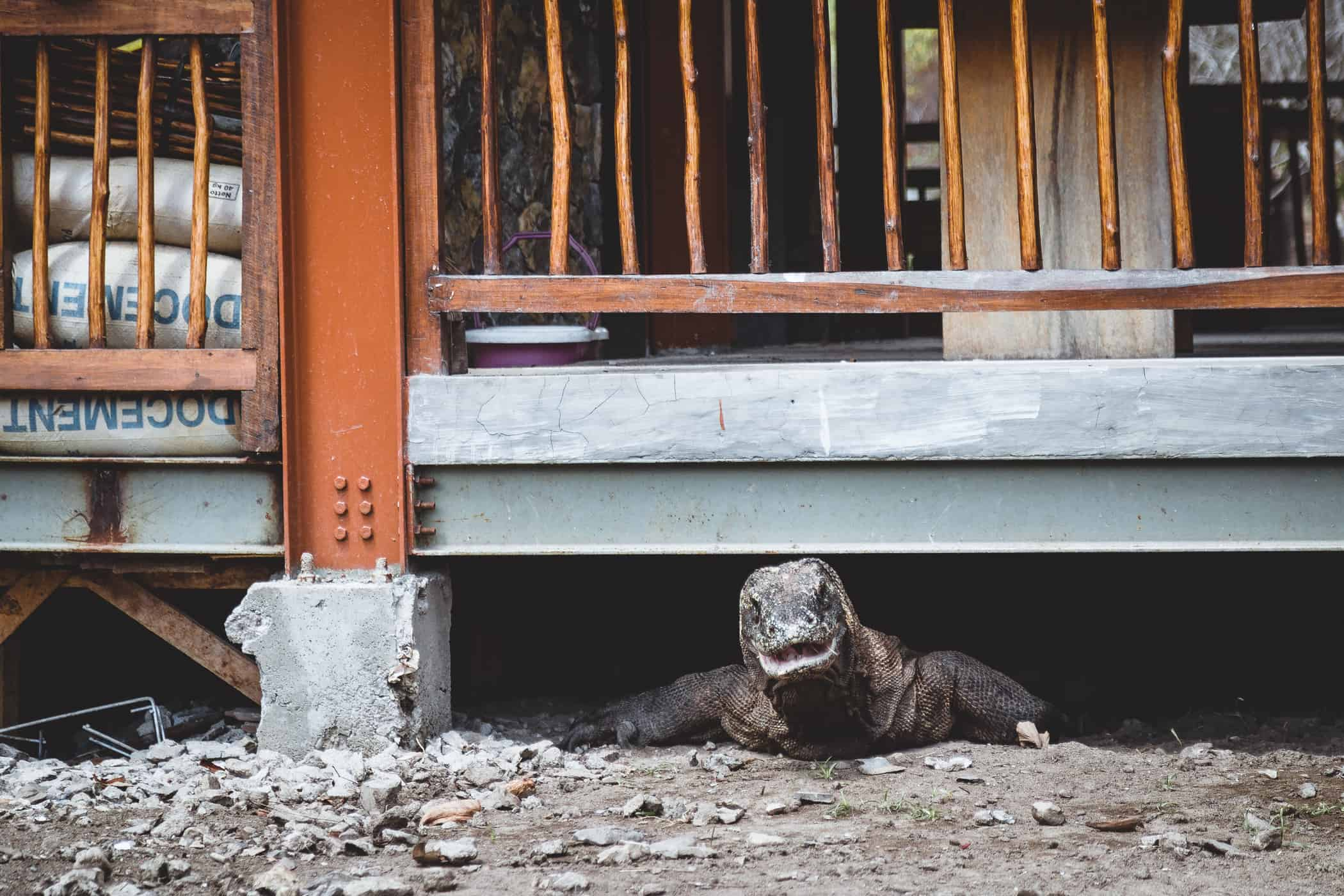 A Komodo Dragon Hides in the Shade
