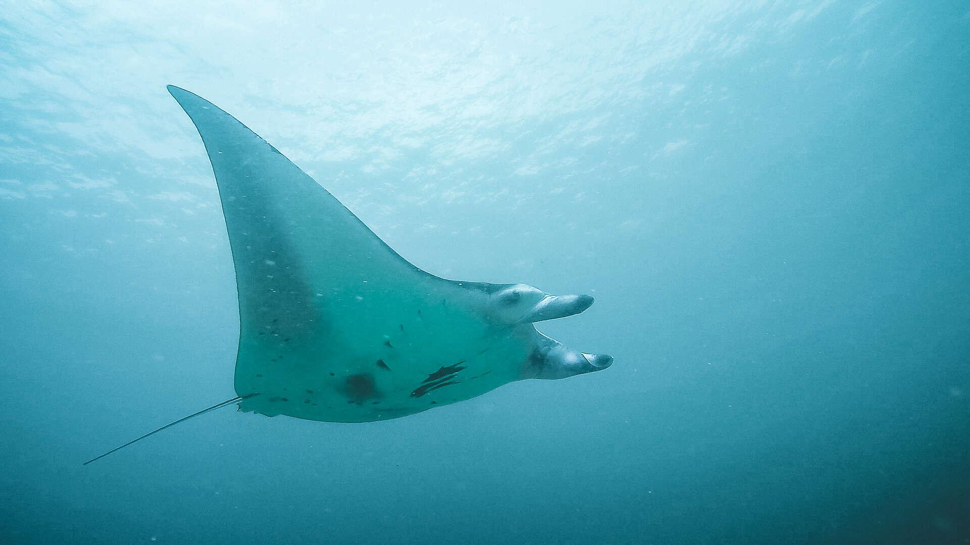 A Manta Ray - Komodo Dive