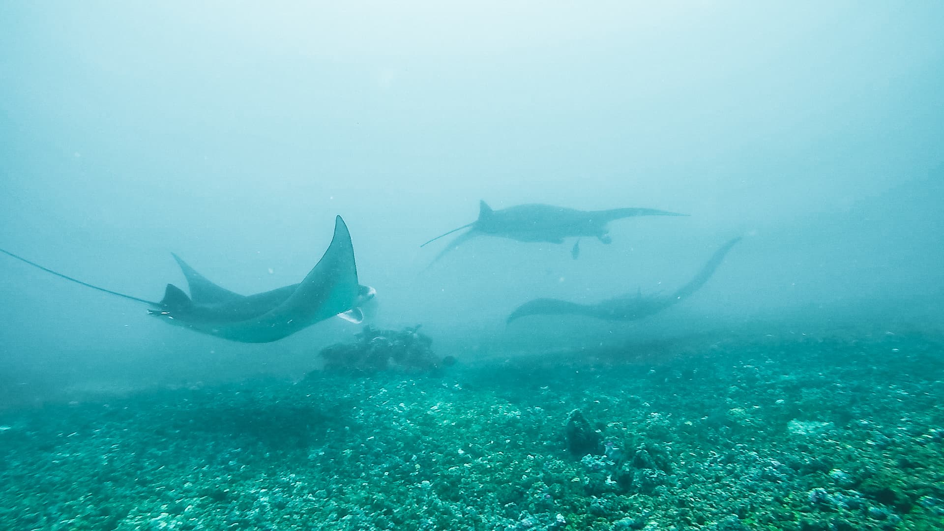 Manta Rays at Batu Balong, Seen Whilst Diving in Komodo National Park