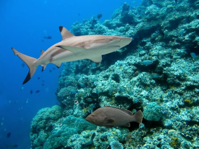A Blacktip Reef Shark Seen Batu Bolong, One Of the Best of the Komodo Dive Sites