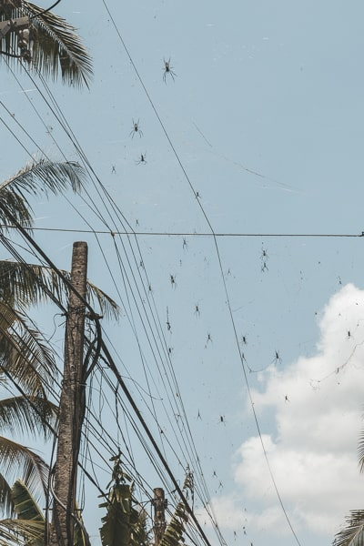 Huge Spiders on Telegraph Wires