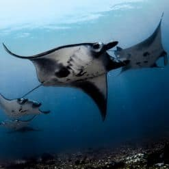 A Manta Train off Komodo