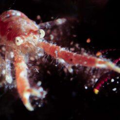 A Squat Lobster