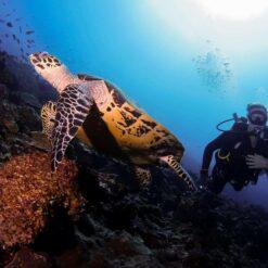 A Diver and a Turtle at Batu Bolong Dive Spot, off Komodo