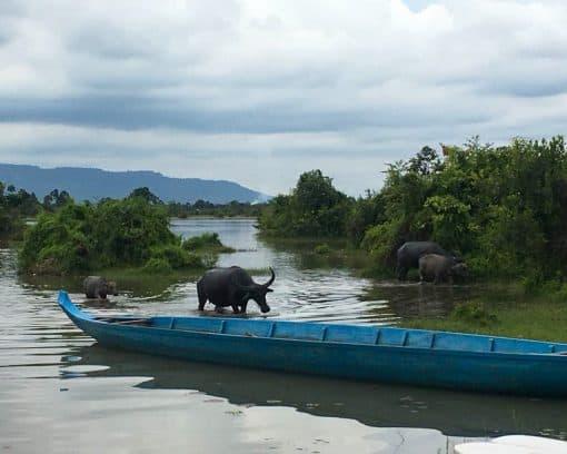 water buffalo near kayak in lake Trav Kot Cambodia