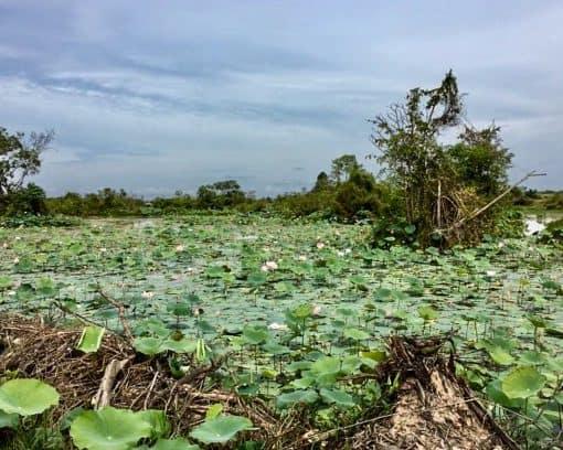 Lotus field in Trav Kot Lake, Siem Reap, Cambodia.
