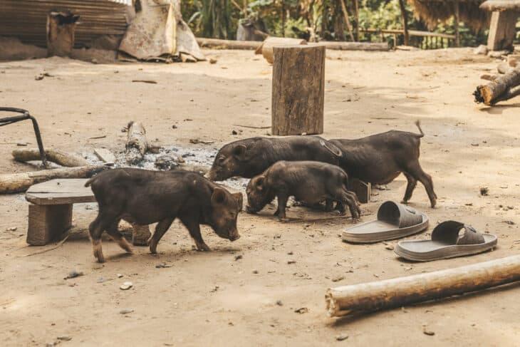 Piglets Running Around the Village