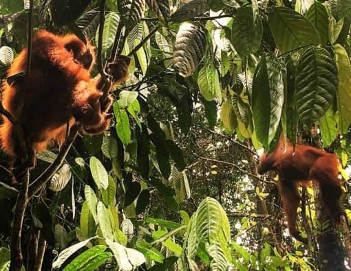 2 orangutans