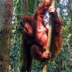 Orangutan Jungle Trekking | Half Day - 3 Days | From BUKIT LAWANG, INDONESIA
