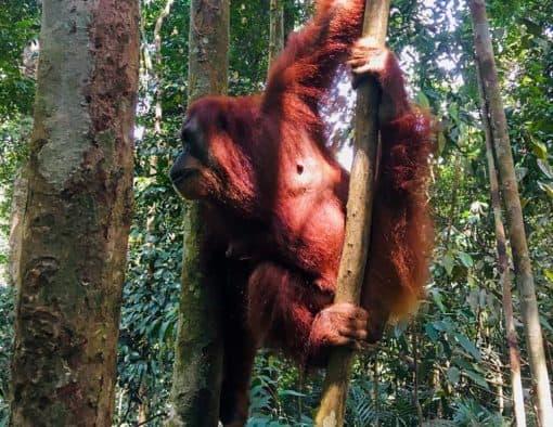 Orangutan Jungle Trekking   Half Day - 3 Days   From BUKIT LAWANG, INDONESIA