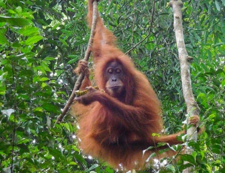 Orangutan in forest