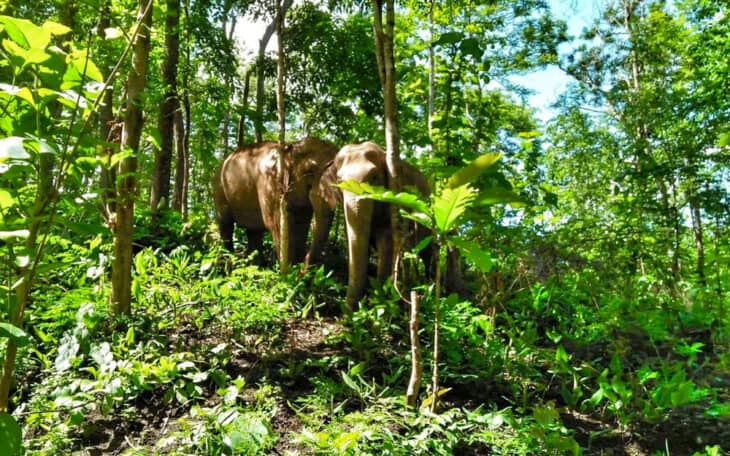 Elephants walk wild in the jungle.