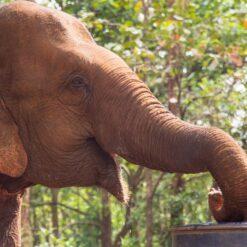 Elephant looks happy