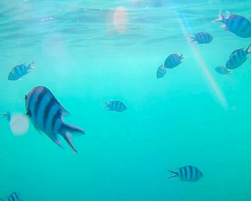 Fish swimming around in sea near Koh Tao.