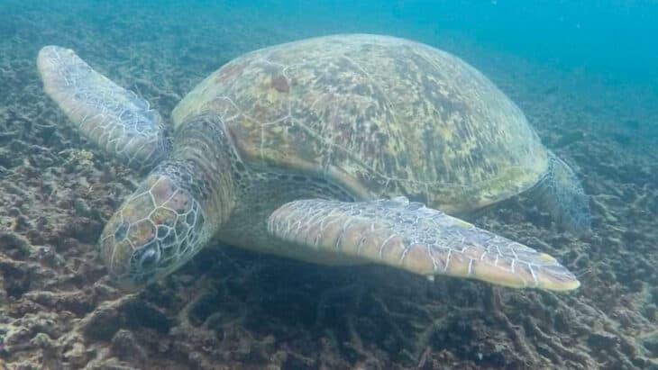 Sea turtle underwater.