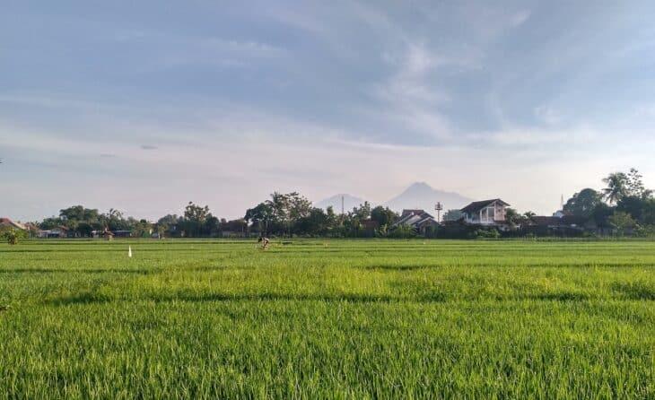 Rice paddy scenery in Yogyakarta
