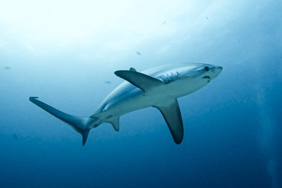 Thresher Shark in the Ocean surrounding Malapascua Island
