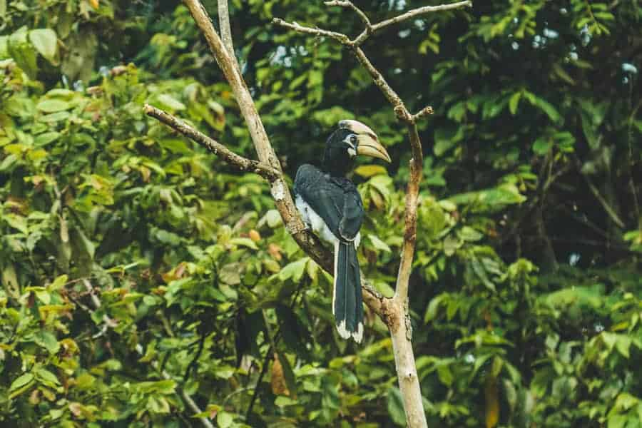 Hornbill bird sat on a branch in a forest in Borneo
