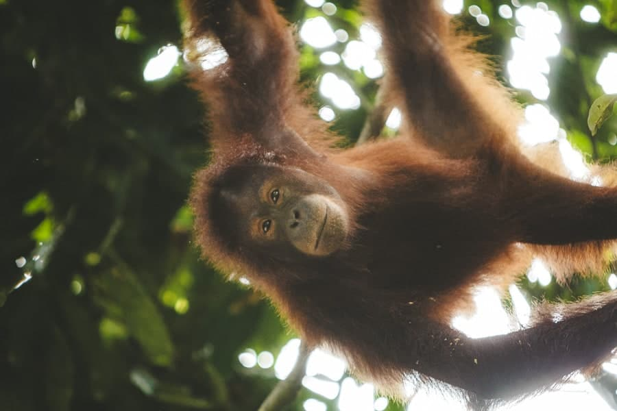 Orangutan hanging from a tree in Borneo