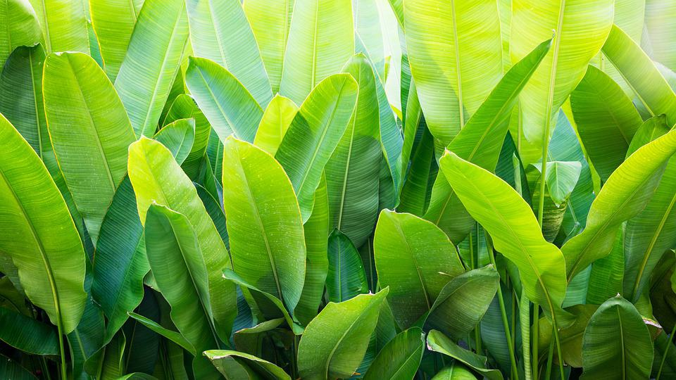 The large surface area of the banana leaf is often used for cooking.