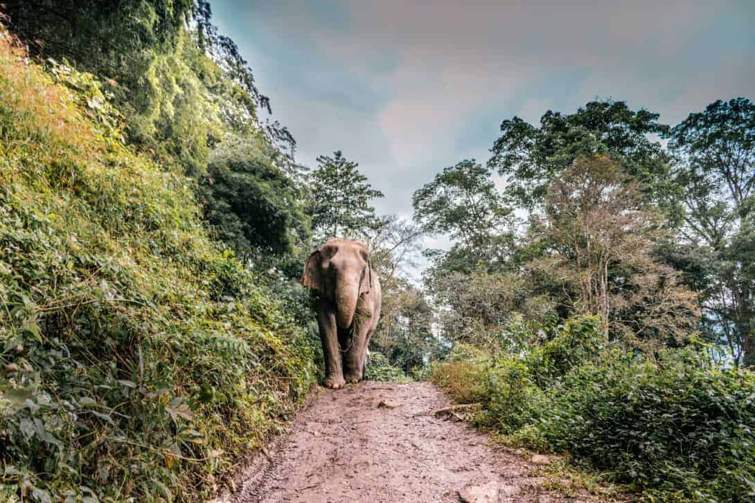 Elephant walking down a mud track