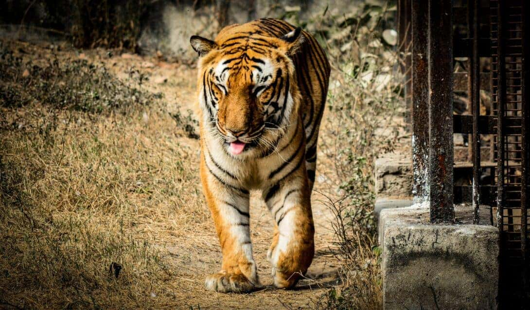Tiger walking near cage