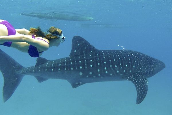Girl snorkels alongside whale sharks
