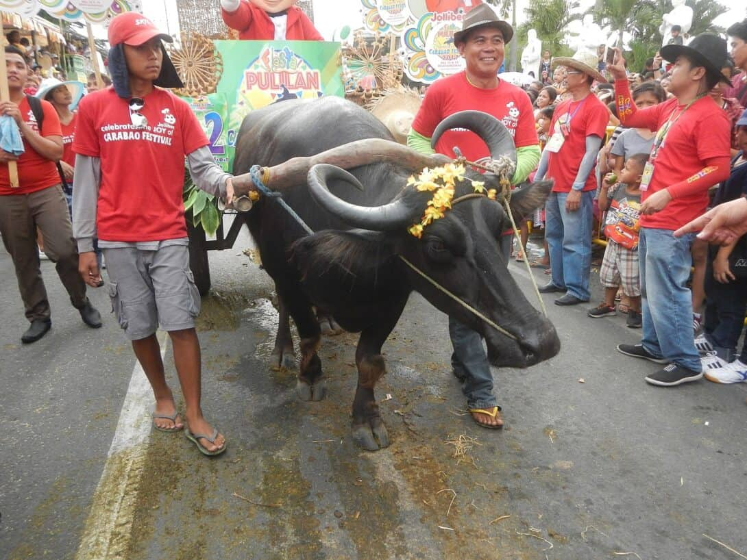Pulilan Carabao (Buffalo) Festival