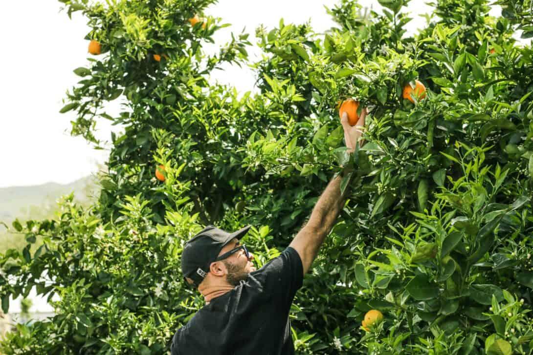 Fruit picking in Australia.