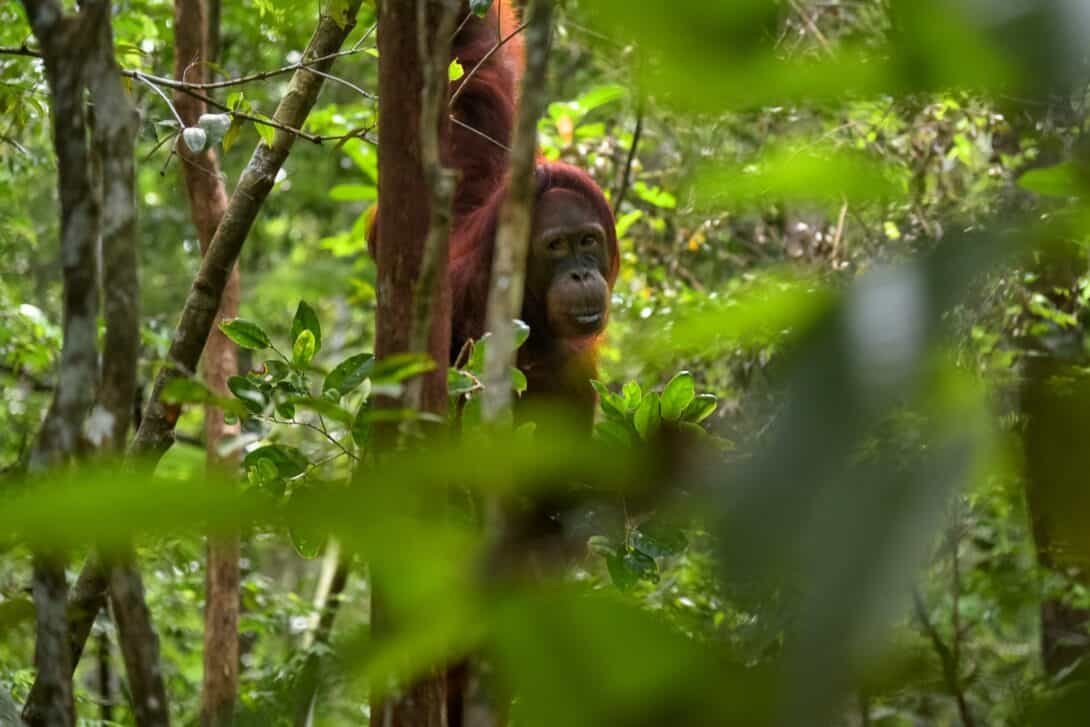 An Orangutan in the jungles of Indonesia