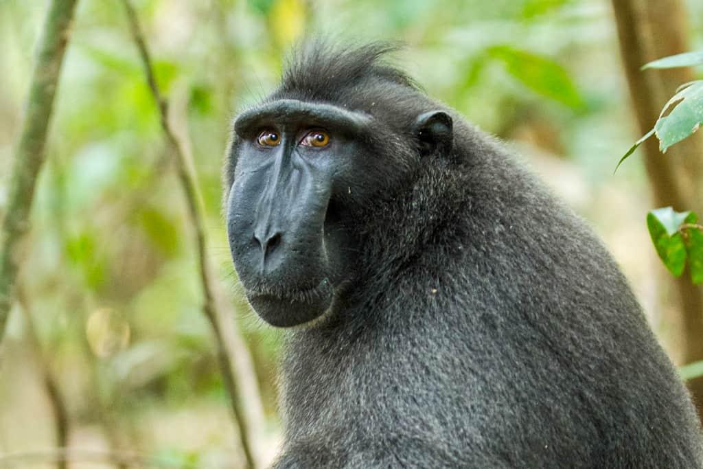Black Macaque